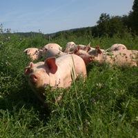 Freilandschweinehaltung